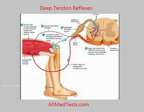To Demonstrate Deep Tendon Reflexes On A Subject - All Medical Tests